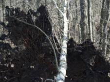 fallen-tree-w