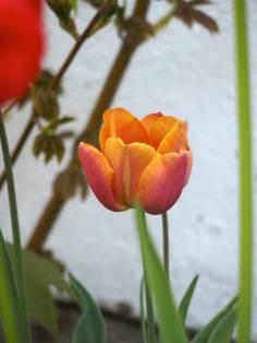 orange-tulip-1