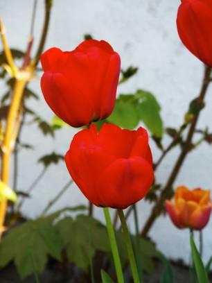 red-tulip-1