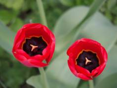 red-tulips-3
