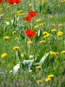 red-tulips2