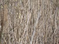 reeds-close-up-w