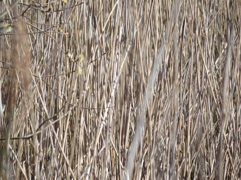 reeds-close-up-w