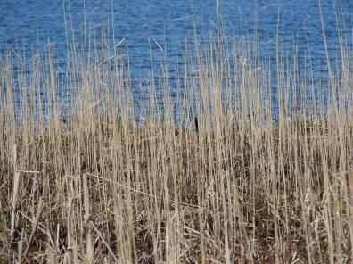 reeds-w