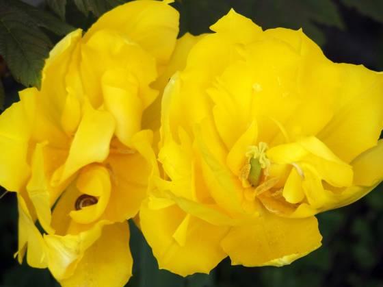 yelloe-tulip-2