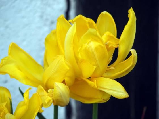 yelloe-tulip